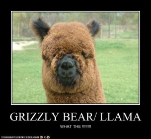 The Llama/Bear future offspring, almost certainly equipped with a hereditary drinking problem.